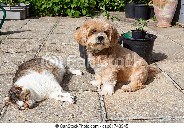 Lhasa Apso dog and cat in a garden - csp81743345
