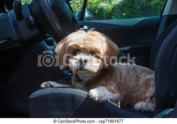 Lhasa Apso dog in a car - csp71891877