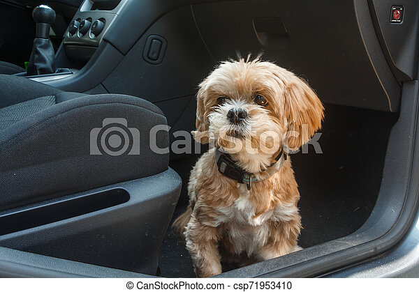 Lhasa Apso dog in a car - csp71953410