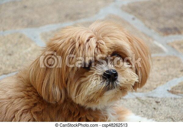 Lhasa Apso dog in a garden - csp48262513