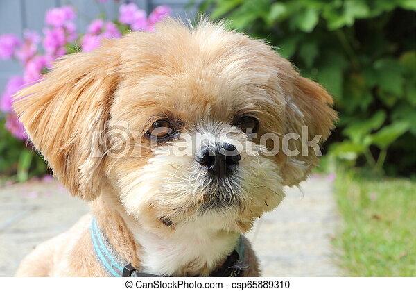 Lhasa Apso dog in a garden - csp65889310