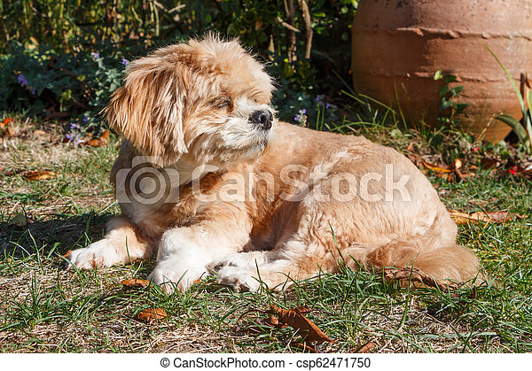 Lhasa Apso dog in a garden - csp62471750