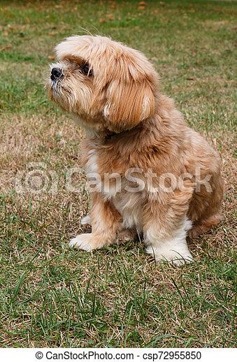 Lhasa Apso dog in a garden - csp72955850