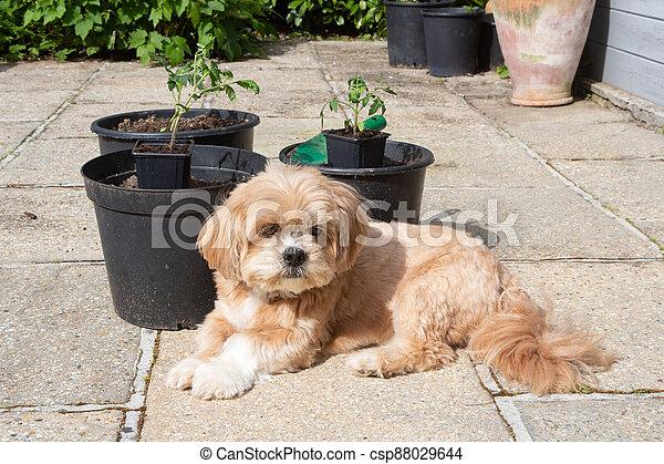 Lhasa Apso dog in a garden - csp88029644