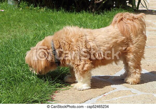 Lhasa Apso dog in a garden - csp52465234