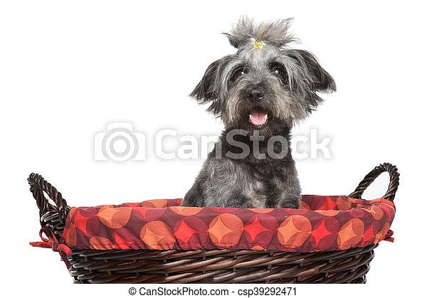 Lhasa Apso dog in wattled basket - csp39292471