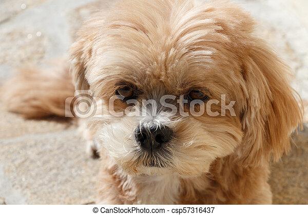 Lhasa Apso dog lying in a garden - csp57316437
