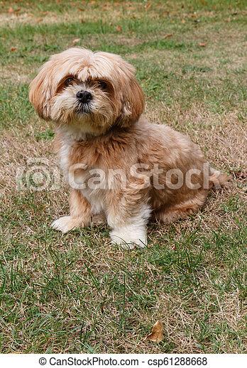 Lhasa Apso dog sitting in a garden - csp61288668
