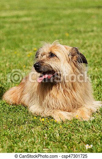 Lhasa Apso dog - csp47301725