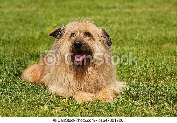 Lhasa Apso dog - csp47301726