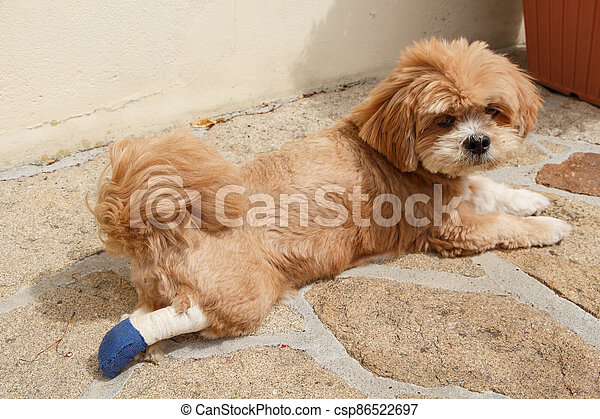 Lhasa Apso dog with bandage in a garden - csp86522697