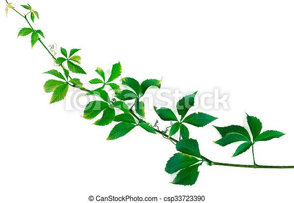 Liście Gałązka Zielone Winogrona Parthenocissus Winogrona