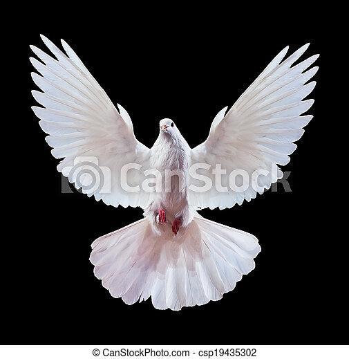 Una paloma blanca voladora libre aislada en un negro - csp19435302