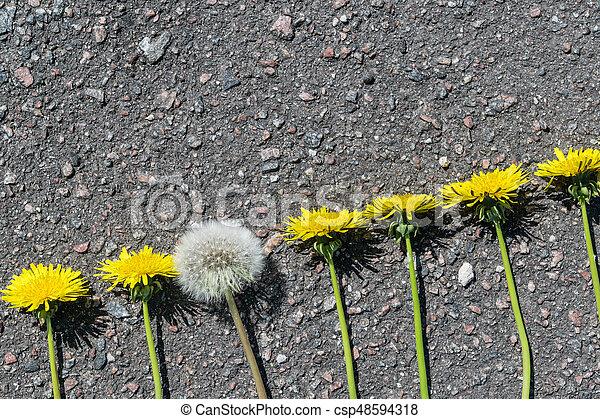 lie, alles, lã¶wenzahn, unblown, fluffy., dandelions., linie., bürgersteig, löwenzahn, blossomed, became - csp48594318