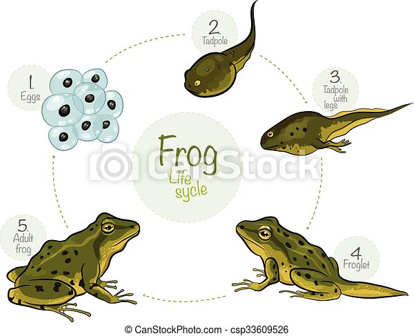 Life cycle of a frog - csp33609526