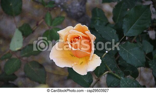 light orange rose - csp29503927