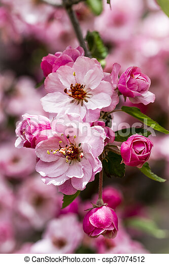 Light Pink Crab Apple Tree Blooms Tree Branch Filled With Light