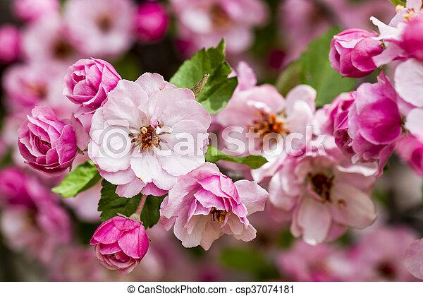 Light pink crab apple tree blooms tree branch filled with light light pink crab apple tree blooms csp37074181 mightylinksfo