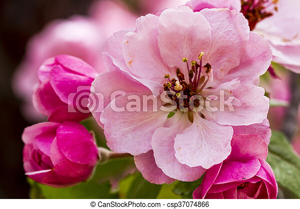 Light pink crab apple tree blooms close up of light pink crab apple light pink crab apple tree blooms csp37074866 mightylinksfo