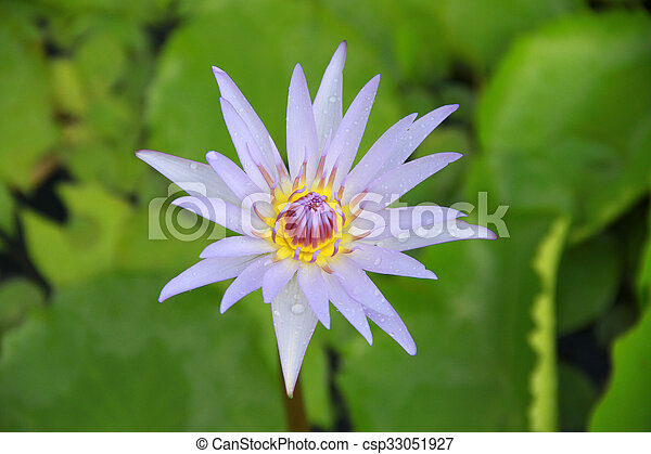 Light violet lotus flower top view in the pool has some drop light violet lotus flower top view in the pool has some drop water on the petal mightylinksfo