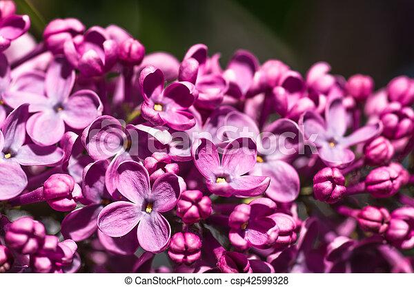 lila, fjäder, bakgrund, violett, blommig, blomningen, mjuk - csp42599328