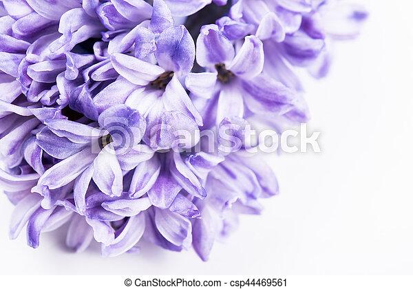 Lila, hyazinthe, blumen. Hyazinthe, kugel, lila, makro, isolated ...