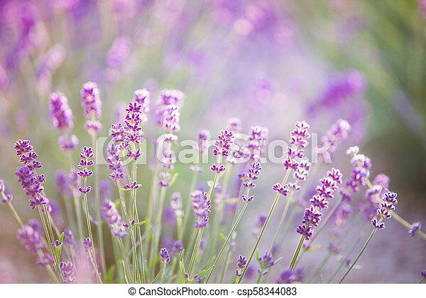 Sonnenuntergänge leuchten über lila Blumen von Lavendel. - csp58344083