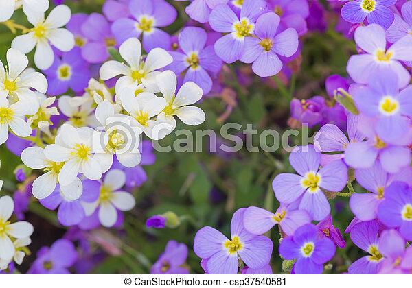 Lila, weisse blumen, hintergrund. Lila, seicht, flowers., feld ...