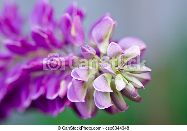 Lilac and pink flowers of lupines in summer - csp6344348