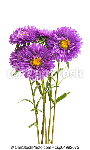 lilac asters - csp64992675