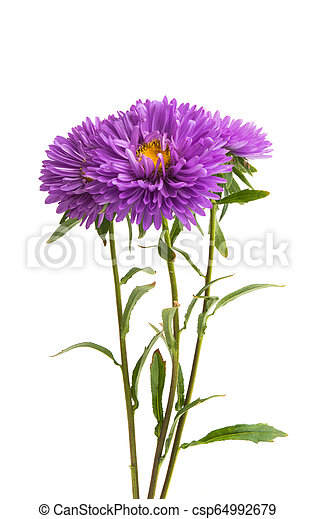 lilac asters - csp64992679