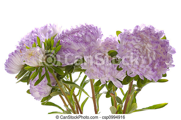 lilac asters - csp0994916