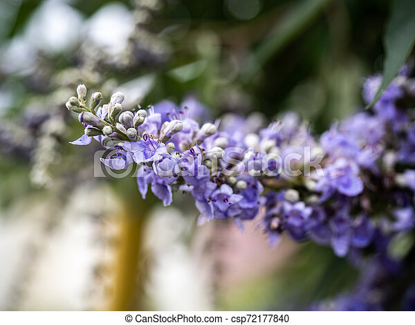 lilac chaste tree flowers in bloom 2 - csp72177840
