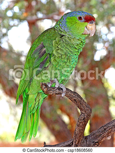 Lilac-crowned Parrot 2 - csp18608560