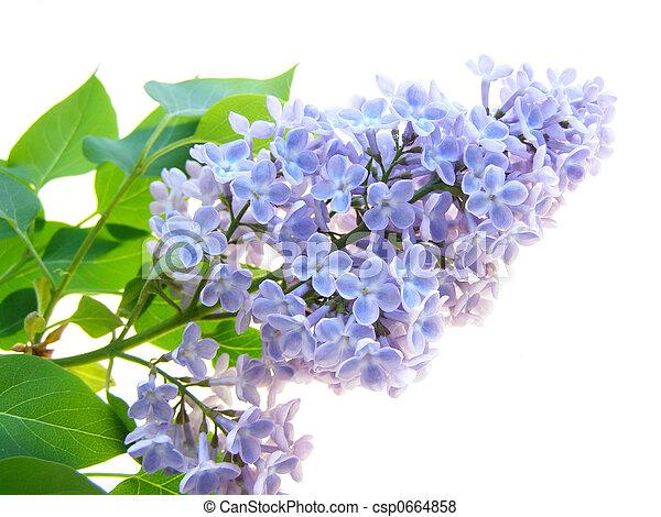 lilac flower - csp0664858