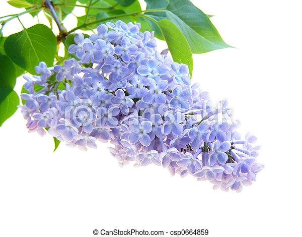 lilac flower - csp0664859