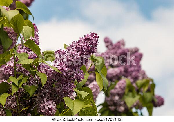 lilac flowers against blue sky - csp31703143
