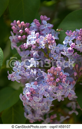 Lilac Flowers Large Garden Shrub With Purple Or White Fragrant Flowers