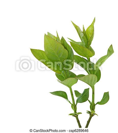 Lilac Leaf - csp6289646