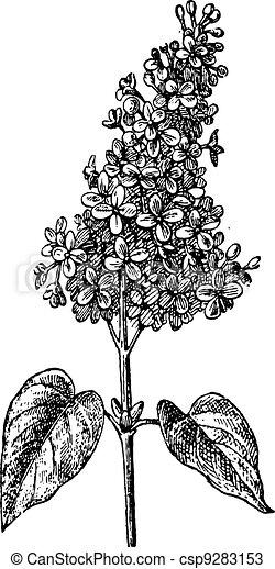 Lilac or Syringa sp., vintage engraving - csp9283153