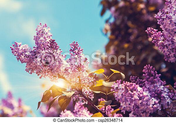 lilac - csp26348714