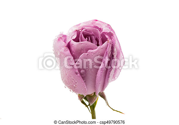 Lilac rose isolated - csp49790576