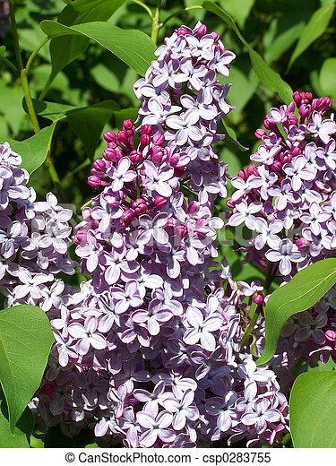 Lilac - csp0283755