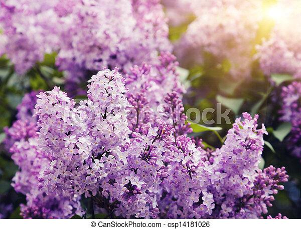 lilac - csp14181026