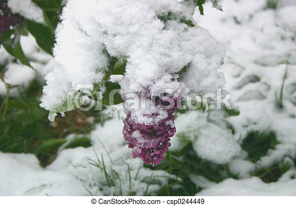 Lilacs in Snow - csp0244449