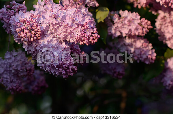 Lilacs in the sun - csp13316534