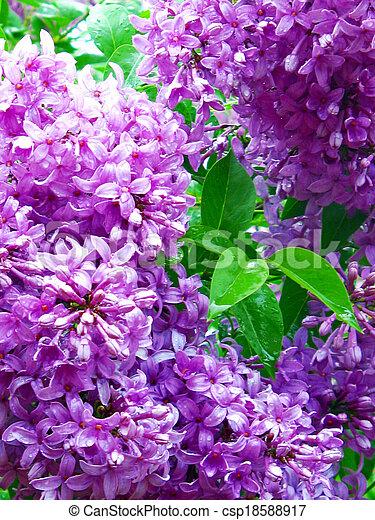 Lilacs - csp18588917