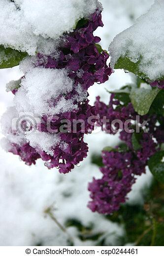 lilas, neige - csp0244461