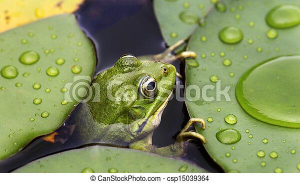 Stockbild von lilie polster, frosch - Frog, auf, lilie polster, a ...