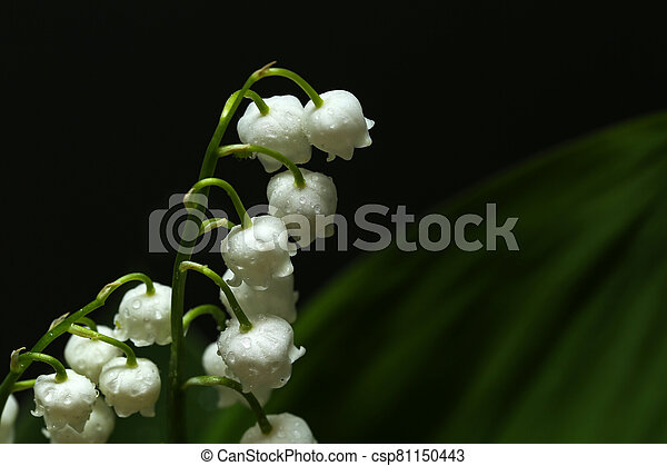 Lilies of the valley on a dark background - csp81150443
